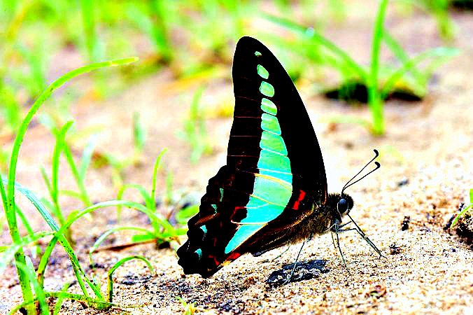 Blue triangle (Graphium sarpedon); Image ONLY