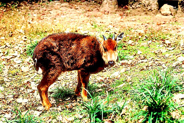 Himalayan goral (Nemorhaedus goral); Image ONLY