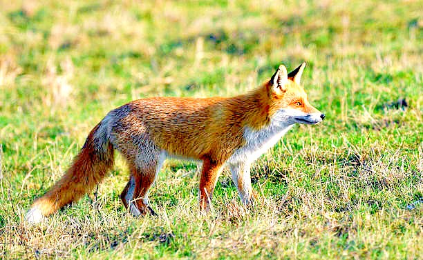 Red fox (Vulpes vulpes); Image ONLY