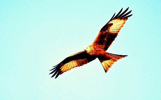 Red kite (Milvus milvus); Image ONLY