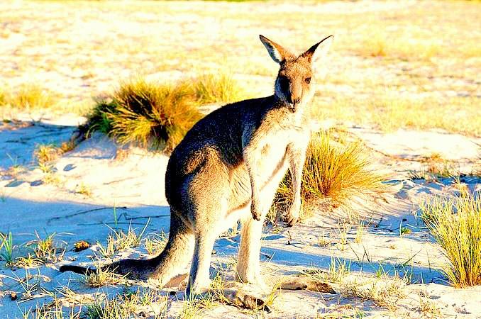Eastern grey kangaroo.jpg