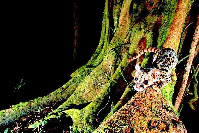 African linsang.jpg