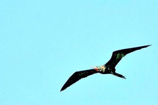 Lesser frigatebird.jpg