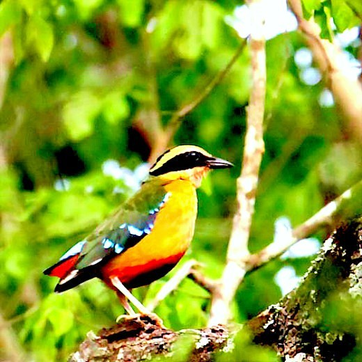 African pitta (Pitta angolensis); Image ONLY