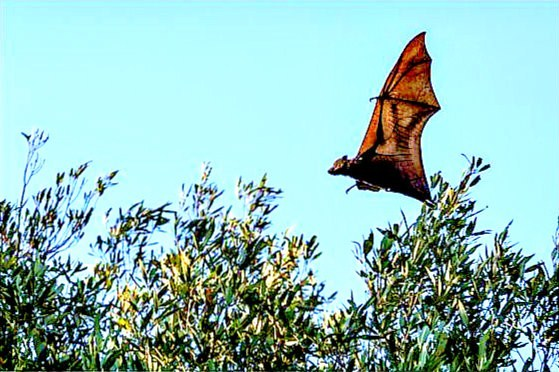 Black flying fox (Pteropus alecto); Image ONLY