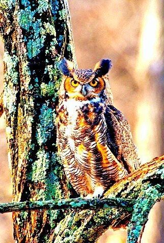 Great horned owl (Bubo virginianus); Image ONLY