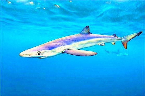 Blue shark (Prionace glauca); Image ONLY