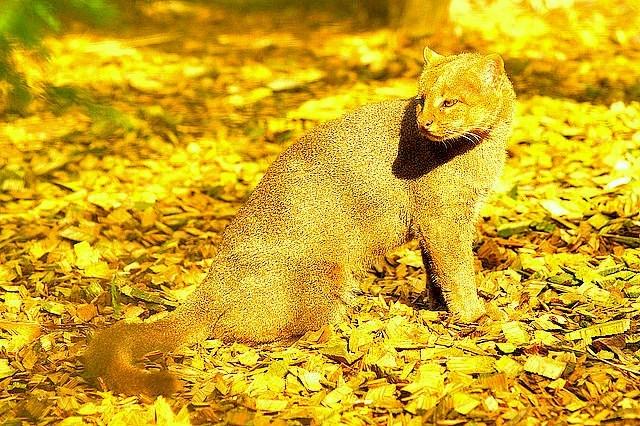 Jaguarundi.jpg