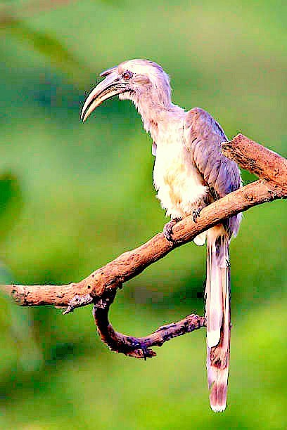 Indian grey hornbill (Ocyceros birostris); Image ONLY