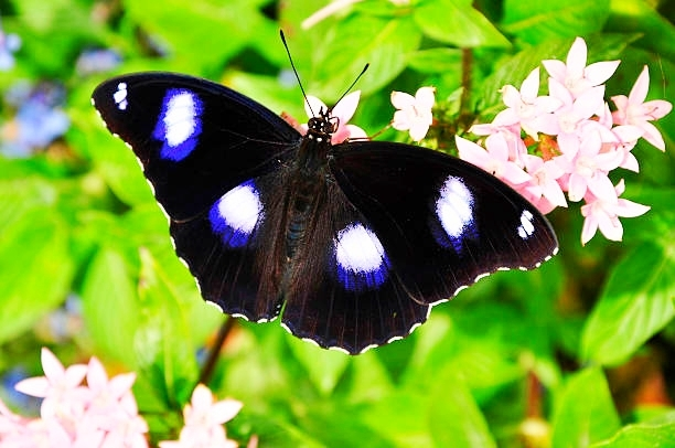 Common eggfly (Hypolimnas bolina); Image ONLY