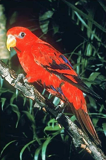 Red lory (Eos bornea); Image ONLY