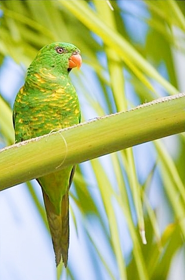 Scaly-breasted lorikeet (Trichoglossus chlorolepidotus); Image ONLY