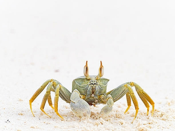 Horned ghost crab (Ocypode ceratophthalma); Image ONLY