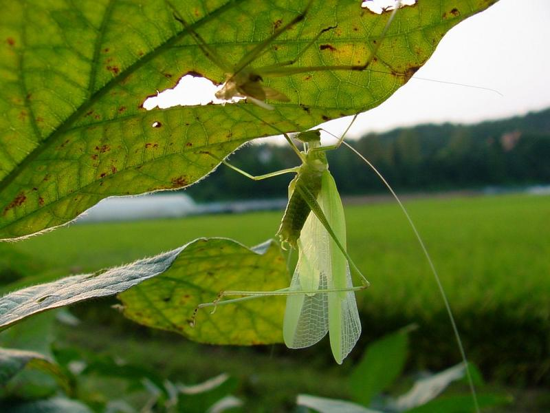 베짱이 비슷한 곤충 --> 실베짱이 Phaneroptera falcata (Sickle-bearing bush-cricket); DISPLAY FULL IMAGE.
