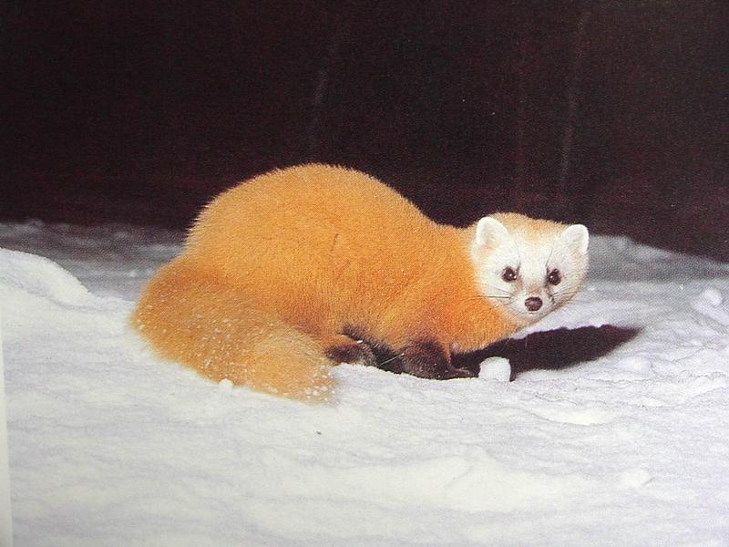 산달 Martes melampus coreensis (Korean Marten); DISPLAY FULL IMAGE.