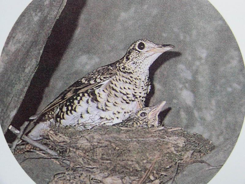 호랑지빠귀 Turdus dauma aureus (White's Ground Thrush); DISPLAY FULL IMAGE.