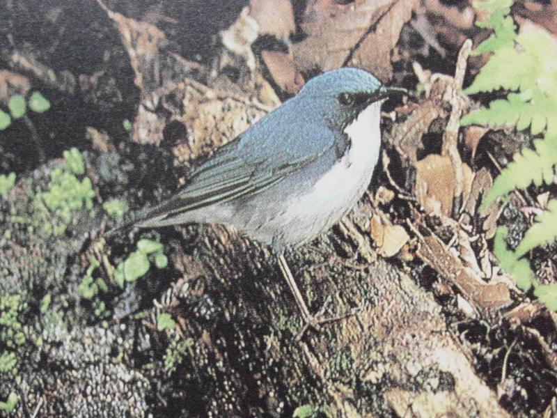 쇠유리새 Erithacus cyane (Siberian Blue Robin); DISPLAY FULL IMAGE.