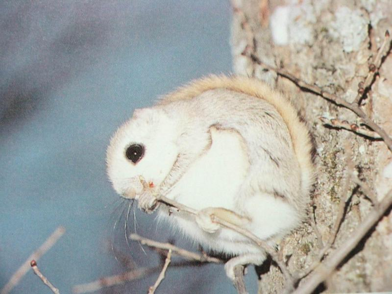 하늘다람쥐 Pteromys volans aluco (Korean Small Flying Squirrel); DISPLAY FULL IMAGE.