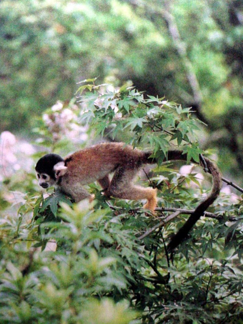다람쥐원숭이 Saimiri sciureus (South American Squirrel Monkey); DISPLAY FULL IMAGE.