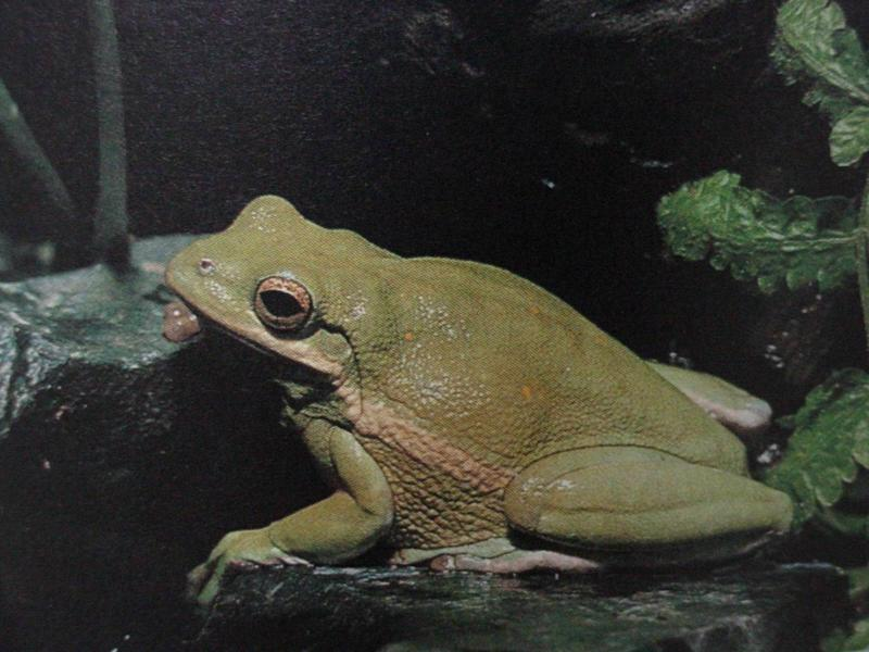 아메리카청개구리 Hyla cinerea (American Green Tree Frog); DISPLAY FULL IMAGE.
