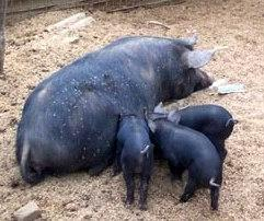 Feral Pig and piglets.jpg