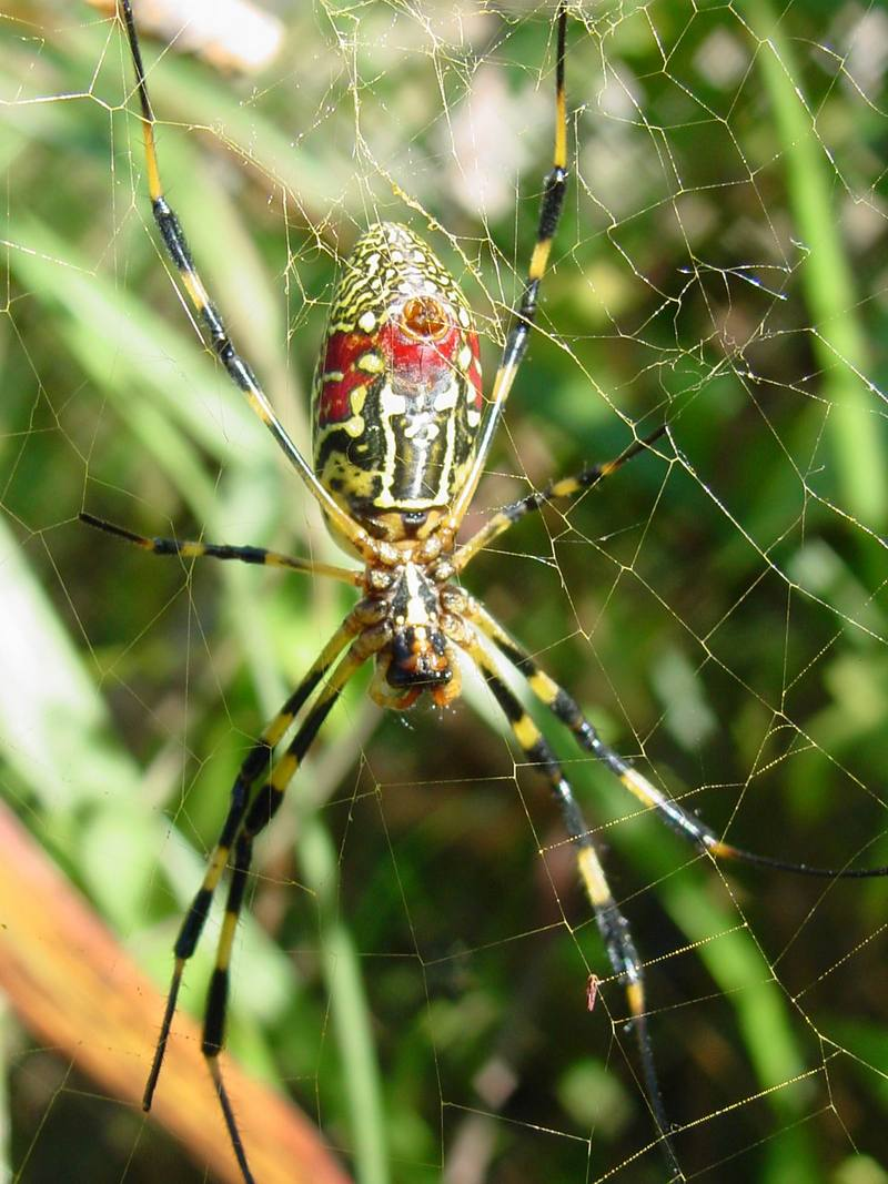 무당거미 Nephila clavata (Golden Orb-web Spider); DISPLAY FULL IMAGE.