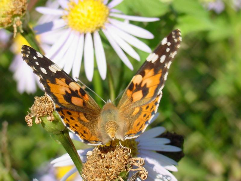 작은멋쟁이나비 Cynthia cardui (Painted Lady Butterfly); DISPLAY FULL IMAGE.