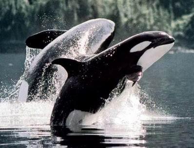 Killer Whale, Orcinus orca.jpg