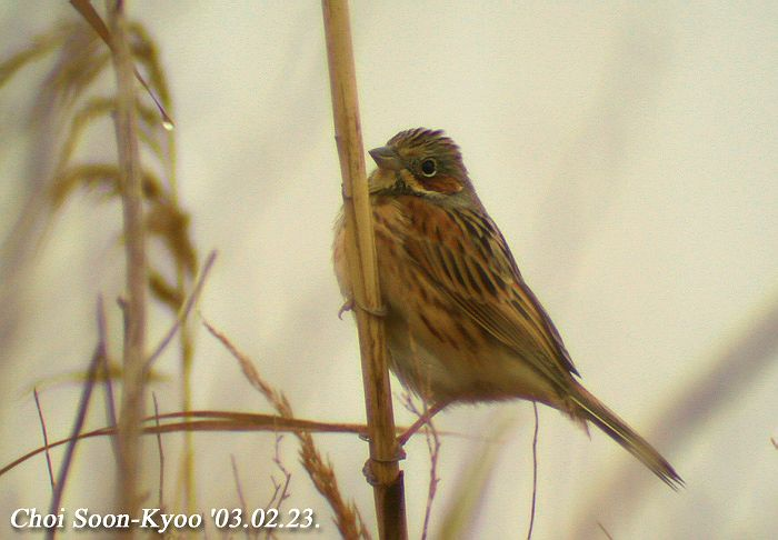 붉은뺨멧새 Emberiza fucata (Grey-headed Bunting); Image ONLY