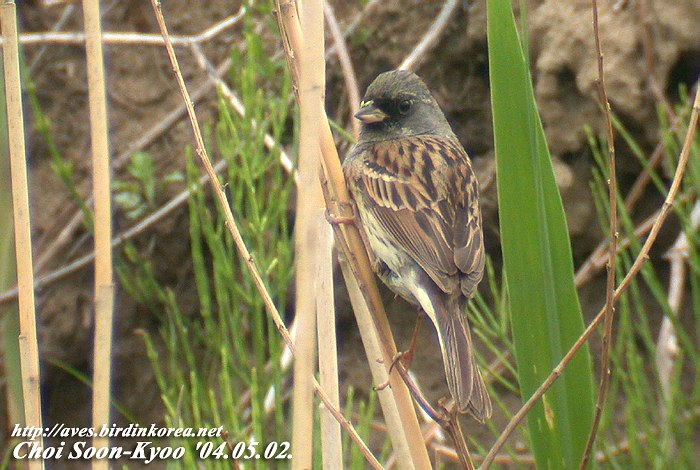 촉새 Emberiza spodocephala (Black-faced Bunting); Image ONLY