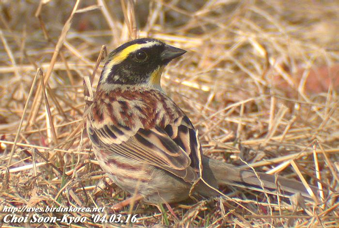 노랑턱멧새 Emberiza elegans (Yellow-throated Bunting); Image ONLY