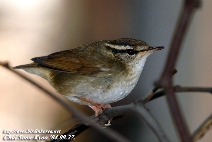 숲새 Urosphena squameiceps (Short-tailed Bush Warbler, Asian Stubtail); Image ONLY