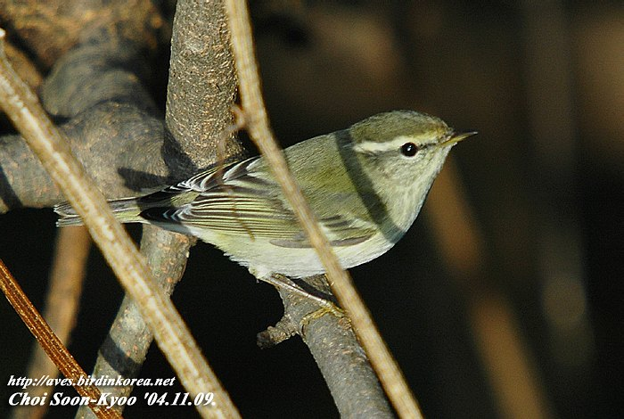 노랑눈썹솔새 Phylloscopus inornatus (Yellow-browed Warbler); Image ONLY