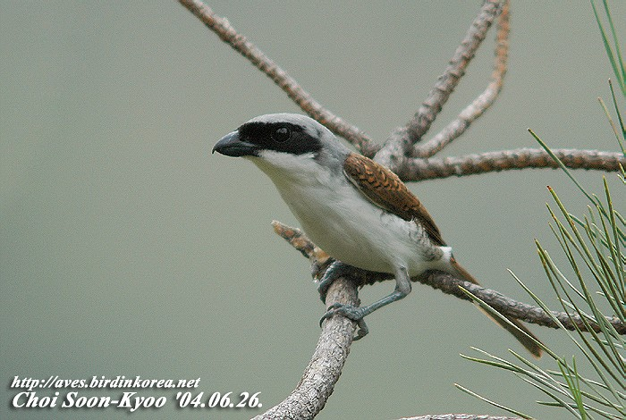 칡때까치 Lanius tigrinus (Thick-billed Shrike, Tiger Shrike); Image ONLY