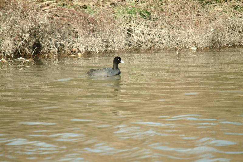 물닭 Fulica atra (Eurasian Coot); DISPLAY FULL IMAGE.