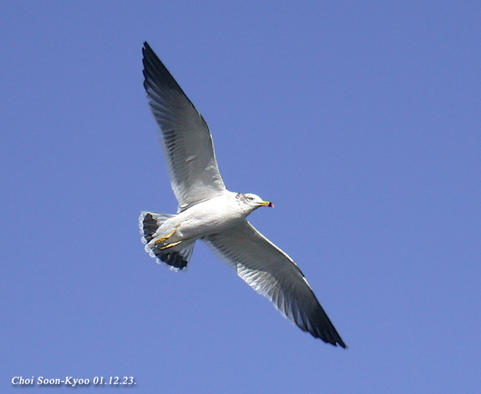 괭이갈매기 Larus crassirostris (Black-tailed Gull); Image ONLY