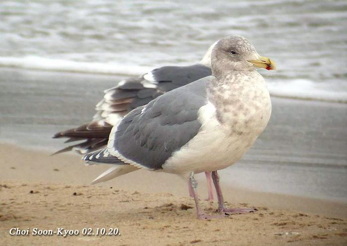 수리갈매기 Larus glaucescens (Glaucous-winged Gull); Image ONLY