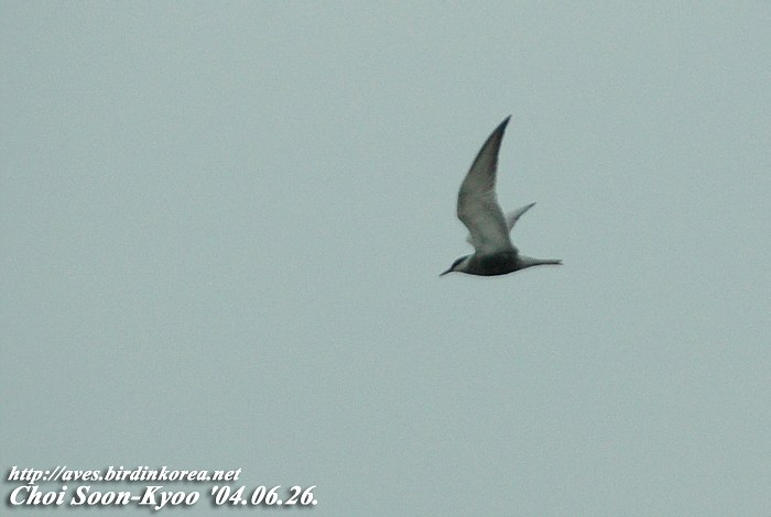 구레나룻제비갈매기 Chlidonias hybridus (Whiskered Tern); Image ONLY