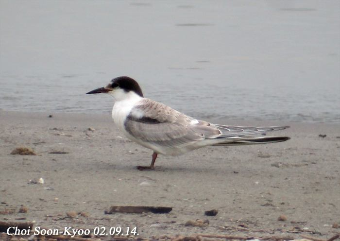 제비갈매기 Sterna hirundo (Common Tern); Image ONLY