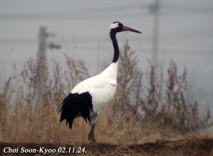 두루미 Grus japonensis (Red-crowned Crane); Image ONLY