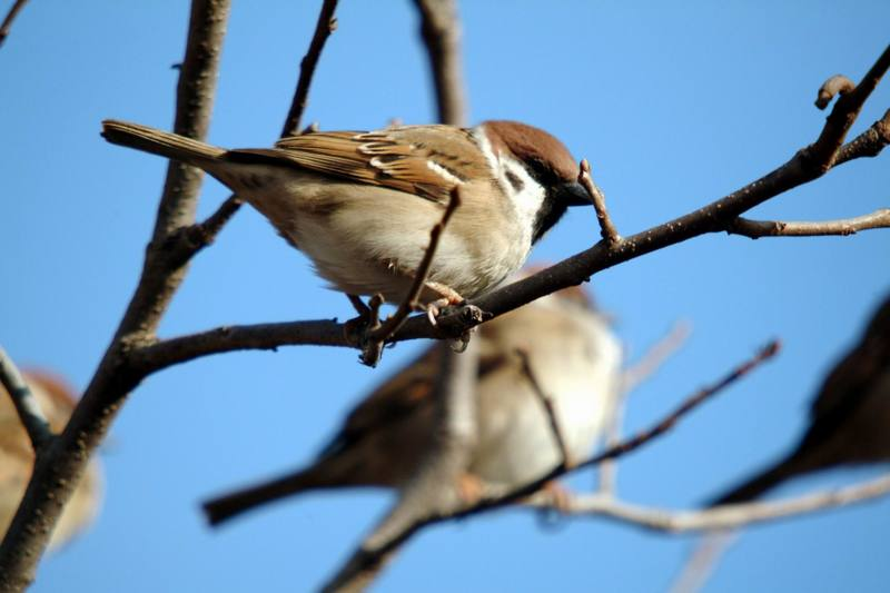 참새 Passer montanus (Tree Sparrow); DISPLAY FULL IMAGE.
