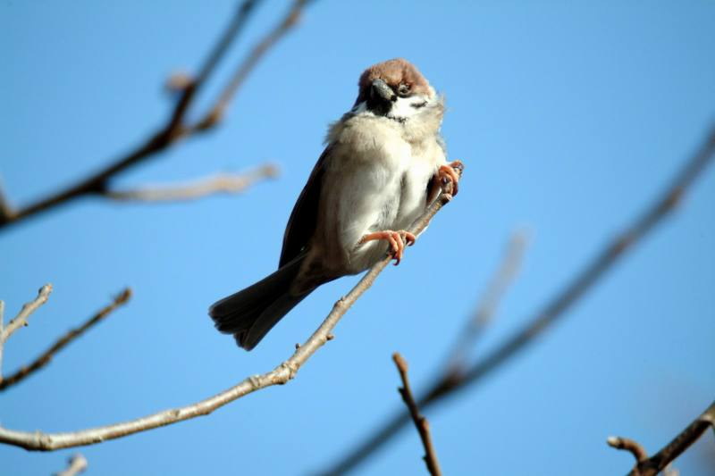 참새 Passer montanus (Tree Sparrow); DISPLAY FULL IMAGE.