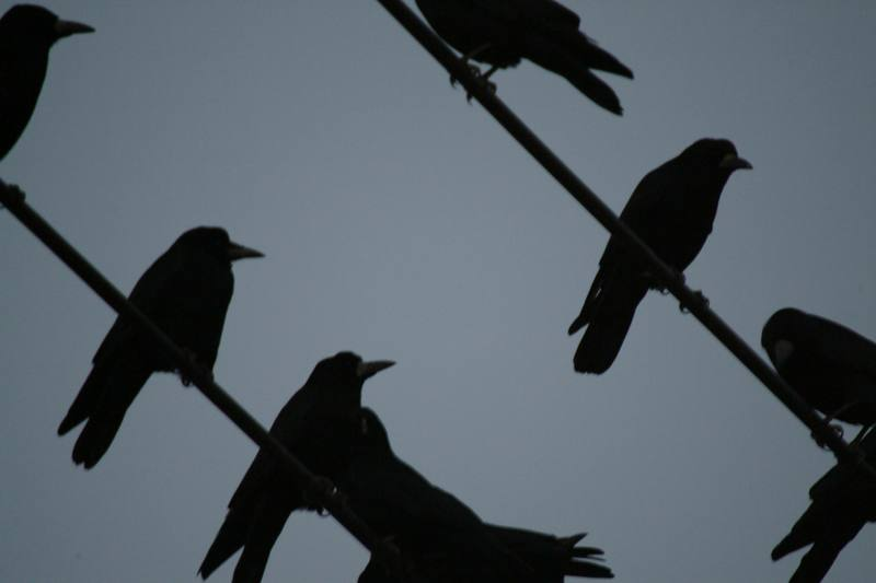 까마귀 Corvus corone (Carrion Crow); DISPLAY FULL IMAGE.