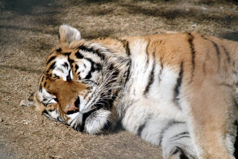 시베리아호랑이 Panthera tigris altaica (Siberian Tiger sleeping); DISPLAY FULL IMAGE.