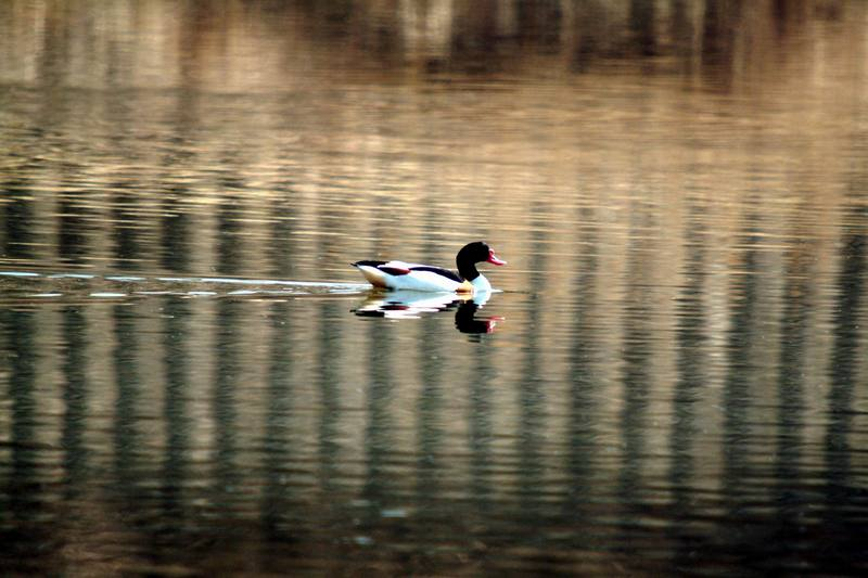 혹부리오리 Tadorna tadorna (Common Shelduck); DISPLAY FULL IMAGE.