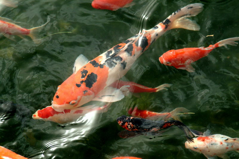 비단잉어 Cyprinus carpio (Koi/Fancy Carp); DISPLAY FULL IMAGE.
