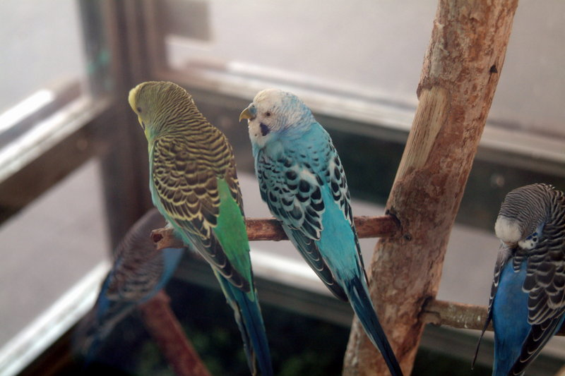 사랑앵무 Melopsittacus undulatus (Budgerigar); DISPLAY FULL IMAGE.