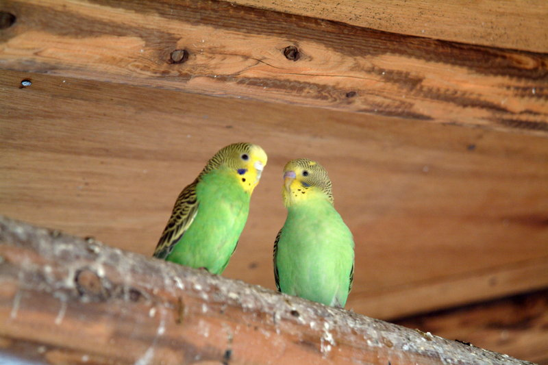 사랑앵무 한쌍 Melopsittacus undulatus (Budgerigar); DISPLAY FULL IMAGE.