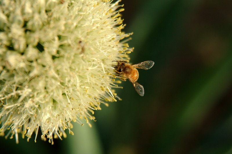 파꽃과 꿀벌 (Honeybee & stone-leek flower); DISPLAY FULL IMAGE.