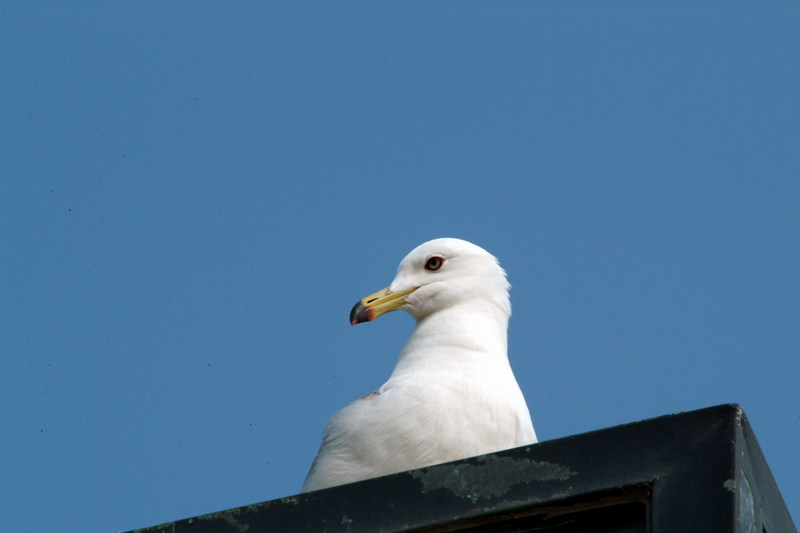 괭이갈매기 Larus crassirostris (Black-tailed Gull); DISPLAY FULL IMAGE.